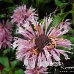 Monarda Beauty of Cobham