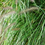 Pennisetum alopecuroides Moudry