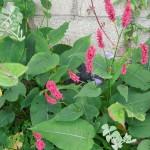 Persicaria amplexicaulis Dikker Floskes