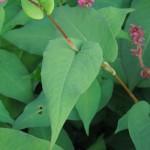 Persicaria amplexicaulis Inverleith