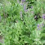 Salvia nemorosa Rügen