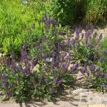 Salvia nemorosa Viola Klose