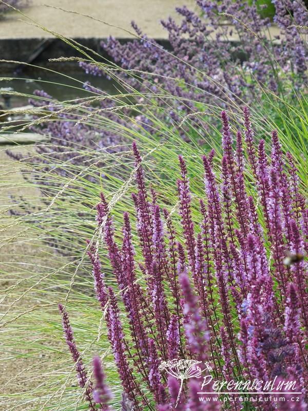 salvia a trávy, šalvěj, šanta, nepeta