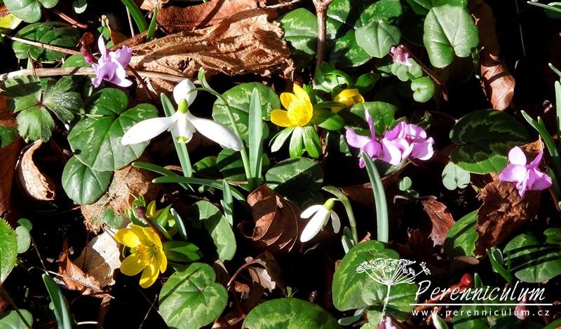 Poslové jara - sněženka, talovín, brambořík