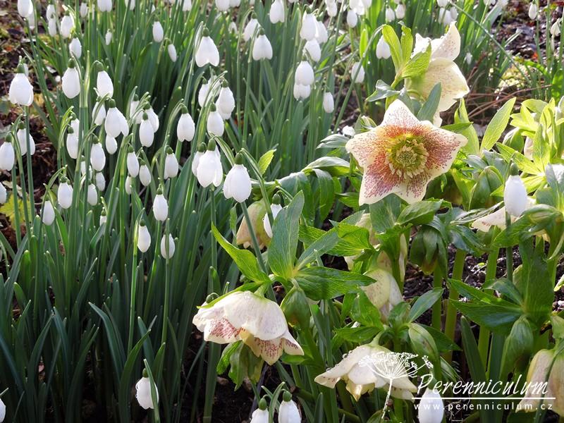 galanthus helleborus čemeřice