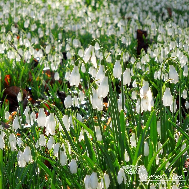 """Přišlo jaro a s ním """"sněženková mánie"""" hlavní obrázek"""