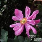 Anemone hupehensis var. japonica Prinz Heinrich