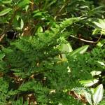 Dryopteris dilatata Crispa Whiteside