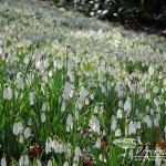 Galanthus nivalis