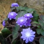 Hepatica nobilis var japonica Seizan
