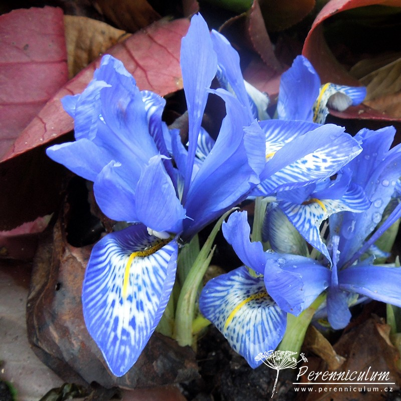 Iris histrioides