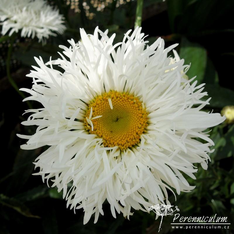 Leucanthemum × superbum