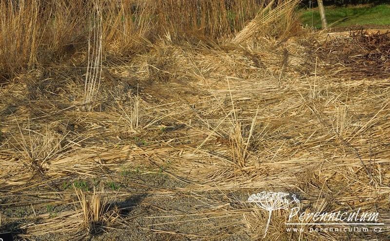 Vysoké trsy Molinia cearulea v půlce zimy polehávají zejména kvůli nepřízni počasí.