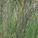 Molinia caerulea subsp. arundinacea Transparent
