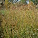 Molinia caerulea subsp. arundinacea