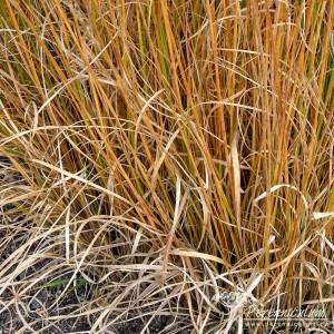 Molinia caerulea subsp. caerulea Heidebraut