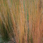 Molinia caerulea subsp. caerulea Moorhexe
