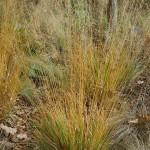 Molinia caerulea subsp. caerulea Poul Petersen