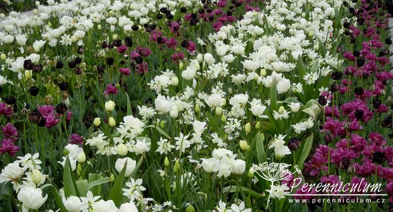 bílé tulipány, narcisy, vínové tulipány