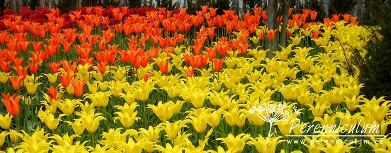 liliokvěté tulipány červená oranžová žlutá