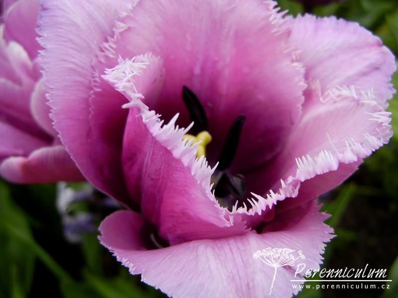 tulipány s roztřepeným okrajem