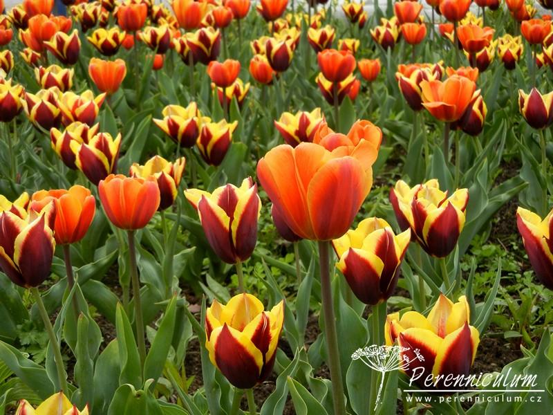 dvoubarevné tulipány