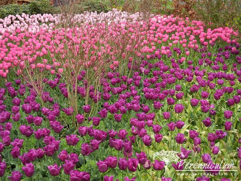 tulipány kombinace barev, růžová, purpurová, fialová