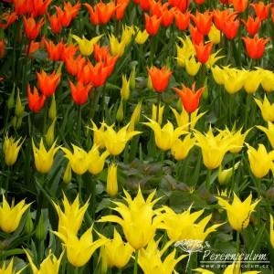 tulipány, Tulipa, dvojbarevné