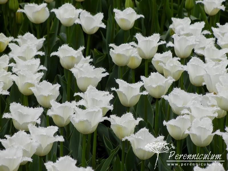 čistě bílé tulipány s roztřepeným okrajem