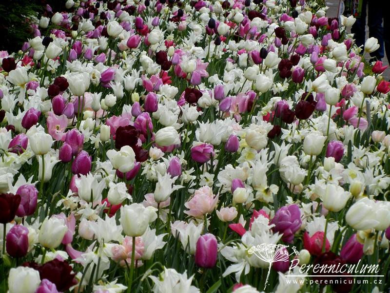 kombinace cibulovin bílá růžová fialová, narcisy, tulipány