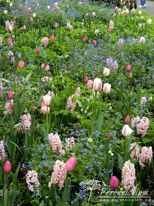 něžná kombinace růžových hyacintů, modrých pomněnek a růžových tulipánů