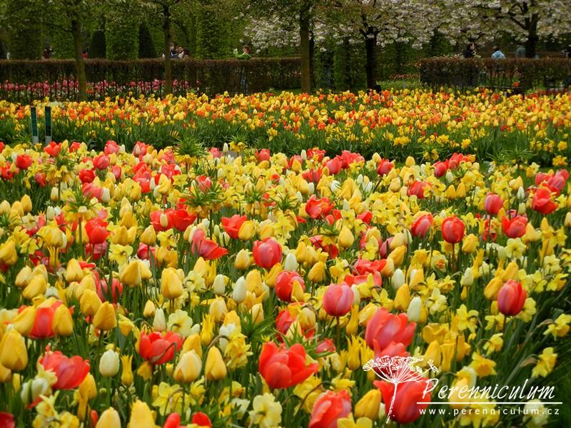 žluté tulipány, narcisy, fritilaria, červené tulipány