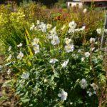 Anemone x hybrida Honorine Jobert