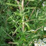 Aster ericoides Golden Spray