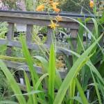 Crocosmia x crocosmiiflora Norwich Canary