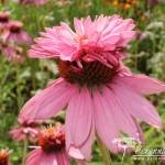 Echinacea purpurea Doubledecker