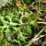 Eryngium bourgatii Picos Blue