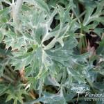 Eryngium bourgatii