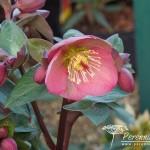 Helleborus Pennys Pink