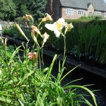 Hemerocallis Snowy Apparition