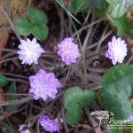 Hepatica nobilis var japonica Tamamushi