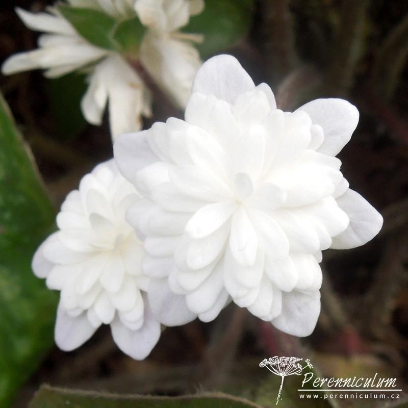Hepatica nobilis var. japonica