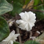 Hepatica nobilis var. japonica Yumegokochi