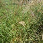 Miscanthus sinensis Little Zebra