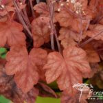 x Heucherella Redstone Falls