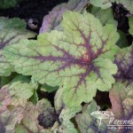 x Heucherella Stoplight