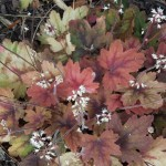 x Heucherella Sweet Tea_