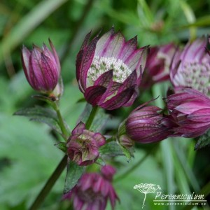 Astrantia major Abbey Road