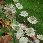 Astrantia major subsp. involucrata Shaggy