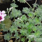 Geranium cinereum Thumbling Hearts